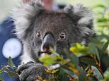 Five koalas arrive at a British safari park after flying 10,000 miles from Australia