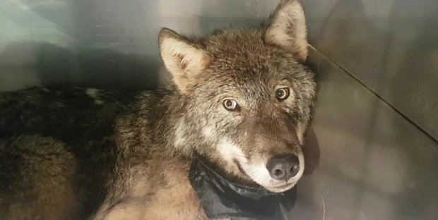 Wolf rescued from river