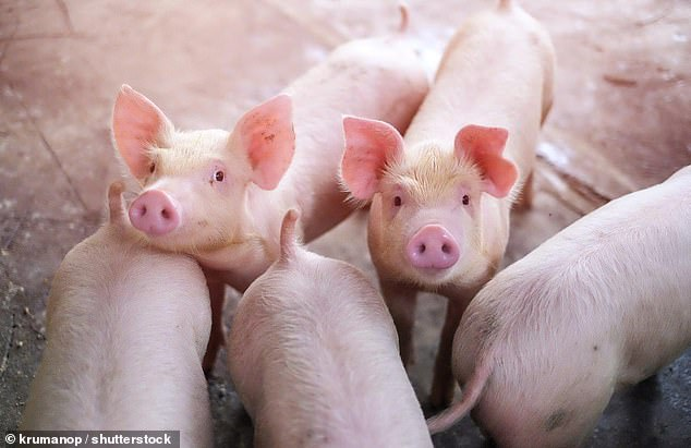 Breeding: Experts found that ancient pigs, descended from Near Eastern wild boar, bred with their European cousins to such an extent that they lost their eastern heritage