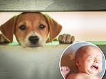 The sound of a whimpering dog tugs at our heartstrings just as much as a crying baby, study shows