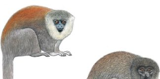 The Parecis titi monkey (above left) was originally thought to be a member of the ashy black titi species (above right)