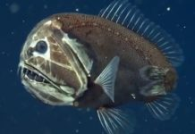 The fish has allegedly only been spotted a couple of times in decades of ocean expedition