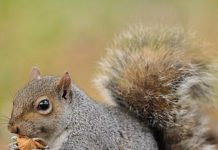 Researchers at the Roslin Institute want to use DNA modification to make all female grey squirrels infertile so they die out in the UK in a bid to protect the endangered red squirrel