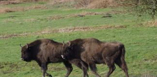 Bison from the Slikken van de Heen nature reserve in Zeeland. Bison are being introduced to a British woodland in a project project led by Kent Wildlife Trust and the Wildwood Trust to restore ancient habitat and its wildlife