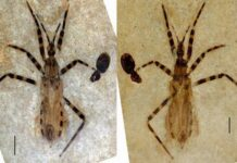 The two halves of the fossil assassin bug from the Eocene. Note the pygophore on his last abdominal segment.