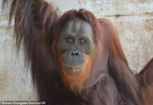 In a degrading spectacle put on for tourists, Nenuah the orangutan (pictured) was one of many apes who, 16 years ago, was forced put on boxing gloves and fight each other. But this weekend she was released into the wild as one of ten of the endangered great apes being allowed their freedom in the forests of Borneo
