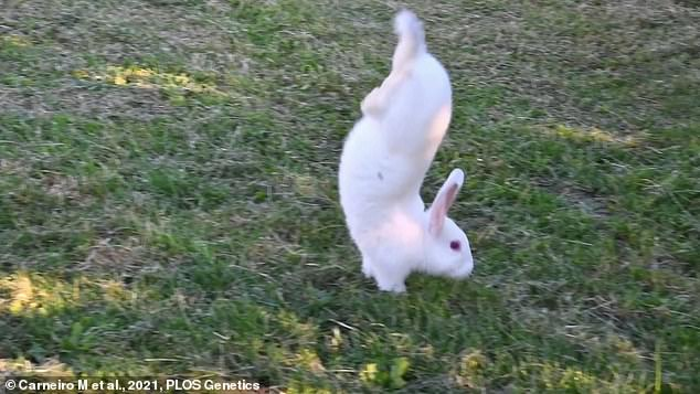 Rabbits, hares, kangaroos and some rodent species all travel by jumping, but this type of movement is not well understood on a molecular and genetic level