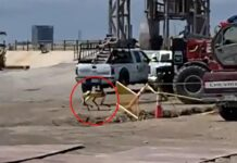 SpaceX returned to the site the day after Starship Serial Number 10 (SN10) exploded 10 minutes following its 'soft landing' and they brought along some help – Zeus the robotic dog