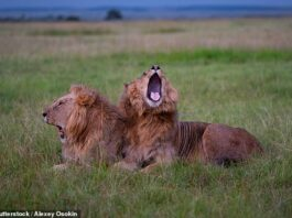 Lions can trigger each others
