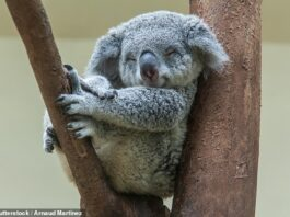 Hundreds of koalas in Australia are due to be vaccinated against chlamydia , an infection which for the marsupials can lead to blindness, infertility and even death. Pictured: a koala