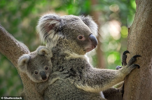 Helping hand: Faeces transplants could help save koalas from extinction as they continue to struggle with increasing habitat loss