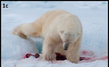 A team of scientists reviewed observational data of polar bears taken between 1973 and 2018, and found just 19 instances of a bear burying its kill after being unable to eat it in one sitting, a rare behavior observed in just 0.5 of bears