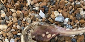 Leah Dennison found this strange sea creature washed up on the beach in Brighton