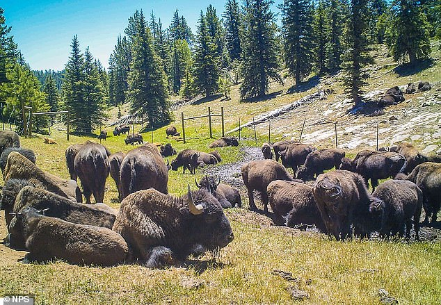 The National Park Service is holding the first controlled bison hunt inside Grand Canyon National Park that aims to cut the House Rock bison herd by more than a half