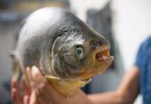 The pacu is a close relative of the piranha