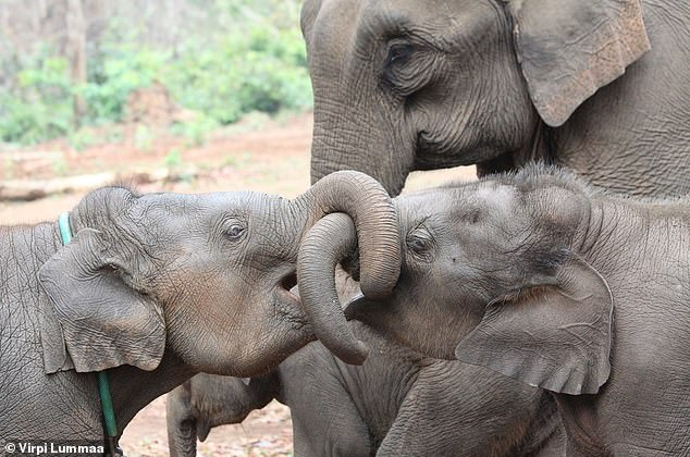 Pictured, Asian elephant siblings. Overall, the presence of an elder sibling of either sex in Asian elephant (Elephas maximus) populations in Myanmar increased calf long-term survival compared to sibling absence, researchers report